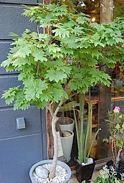 Aceraceae.tle.jpg